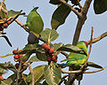 Plum-headed Parakeet (Psittacula cyanocephala) feeding on Ficus benghalensis W IMG 4344.jpg