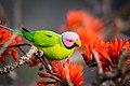 Plum headed parakeet magestic.jpg