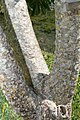 Plumeria rubra 7zz.jpg