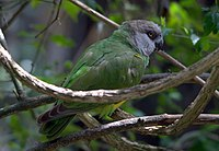 Poicephalus senegalus -Birds of Eden, South Africa-8a (1)