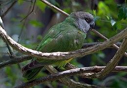 Poicephalus senegalus -Birds of Eden, South Africa-8a (1)