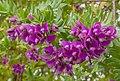 Polígala de hoja de mirto (Polygala myrtifolia), Setúbal, Portugal, 2012-05-08, DD 02.JPG