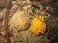 Polymastia boletiformis - Carantec.jpg