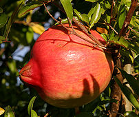 Fruit of pomegranate