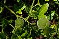 Poncirus trifoliatus, Conservatoire botanique national de Brest 05.jpg