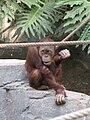 Pongo pygmaeus abeli - Hamburg, Tierpark Hagenbeck - 3.jpg