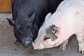 Porcos vietnamitas. Naturlandia. Andorra 275.jpg