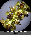 Potamogeton perfoliatus sl15.jpg