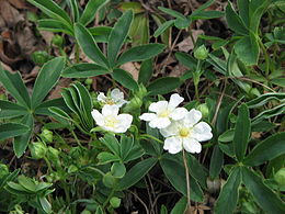 Potentilla alba close-up.jpg