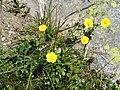 Potentilla grandiflora001.jpg