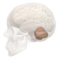 Primary fissure of cerebellum -- 04.png