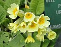 Primula uralensis - Copenhagen Botanical Garden - DSC07515.JPG