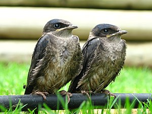 Purple martin - Fledglings in Oklahoma, United States