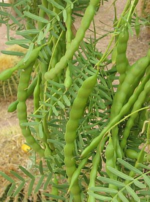 Mesquite - Image: Prosopis glandulosa seed pods