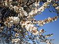 Prunus dulcis 1c.JPG