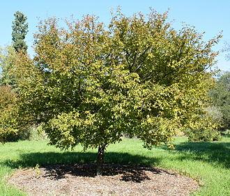 Prunus incisa - Prunus incisa