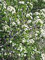 Prunus mahaleb1.jpg