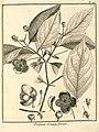 Psidium grandiflorum Aublet 1775 pl 190.jpg