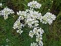 Pycnanthemum virginianum 2016-07-19 2829.jpg