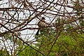 Pycnonotus xanthorrhous (8637425382).jpg