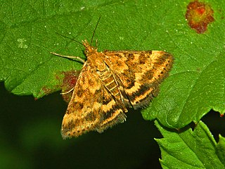 <i>Pyrausta</i> (moth) Genus of moths