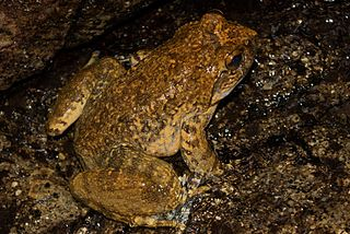 <i>Quasipaa spinosa</i> Species of amphibian