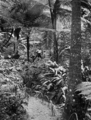 Queensland State Archives 1249 A path in Fairyland Tropical Gardens near Kuranda c 1935.png