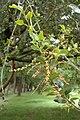 Quercus chrysolepis kz02.jpg