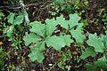 Quercus ilicifolia (23796934279).jpg