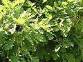 Quercus pubescens foliage Bulgaria.jpg