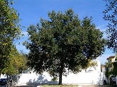 Quercus rotundifolia.JPG
