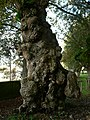 Quercus suber ( Corticeira) - panoramio.jpg