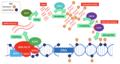 RNA Pol IV Mechanism.png
