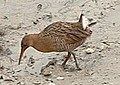 Rallus obsoletus - San Francisco Bay, 2004.jpg