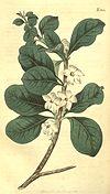 Randia aculeata (as Gardenia randia) 43.1841