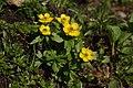 Ranunculus eschscholtzii 4173.JPG