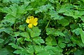 Ranunculus repens at Swauk Campground, Kittitas County Washington.jpg