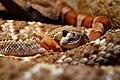 Rattlesnake copperhead.jpg