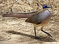 Red-capped Coua RWD.jpg