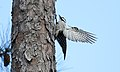 Red-cockaded Woodpecker (Picoides borealis) (32306278790).jpg