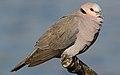 Red-eyed Dove Streptopelia semitorquata at Marievale Nature Reserve, Gauteng, South Africa (32587266553).jpg