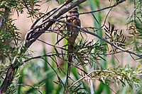 Red-faced Mousebird (Urocolius indicus) hanging in tree, front view.jpg