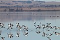 Red-necked Avocets (24424161894).jpg