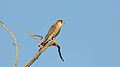 Red-necked falcon, Falco chicquera, at Kgalagadi Transfrontier Park, Northern Cape, South Africa. (33672070294).jpg