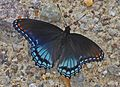 Red-spotted Purple - Limenitis arthemis, Governor Bridge Natural Area, Bowie, Maryland.jpg