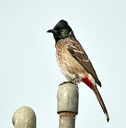 Red-vented Bulbul (Pycnonotus cafer)- nominated race at Hodal I IMG 9743.jpg