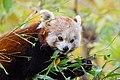 Red Panda (24677110438).jpg