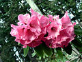 Red Rhododendron Flowers (6905670596).jpg