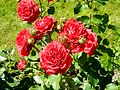 Red Rose flowers 20.jpg