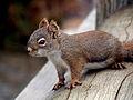 Red Squirrel in Banff 230089735 o.jpg